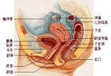 女性内生殖系统图示