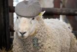 英国农场1只公羊1天令33只母羊怀孕