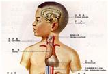 内分泌系统解剖图